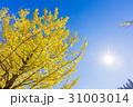 銀杏 イチョウ 秋の写真 31003014