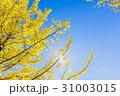 銀杏 イチョウ 秋の写真 31003015
