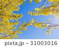 銀杏 イチョウ 秋の写真 31003016