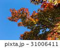 赤い楓と青空 31006411