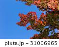 赤い楓と青空 31006965