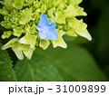 紫陽花 最初の青 31009899