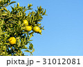 Orange tree branch 31012081