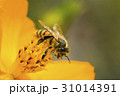 Spring single daisy flower and bee 31014391