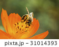 Spring single daisy flower and bee 31014393