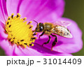 Spring single daisy flower and bee 31014409