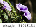 Closeup purple morning glory flower with vine leaf 31015131