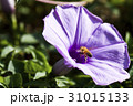 Closeup purple morning glory flower with vine leaf 31015133