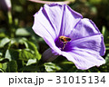 Closeup purple morning glory flower with vine leaf 31015134