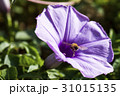Closeup purple morning glory flower with vine leaf 31015135