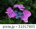 額あじさい 額紫陽花 ガクアジサイの写真 31017805
