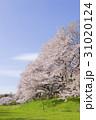 満開の花 公園 31020124