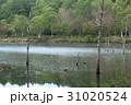 女神湖 湖 枯木立の写真 31020524
