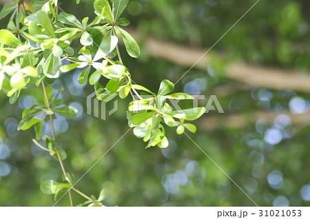 Terminalia ivorensis Chev. or Terminalia ivorensis 31021053
