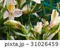トカゲとアルストロメリア 31026459