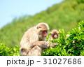 ニホンザル 猿 哺乳類の写真 31027686