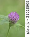 紫詰草 マメ科 花の写真 31028909