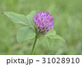 紫詰草 赤詰草 花の写真 31028910