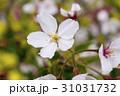 桜 一輪 花びらの写真 31031732