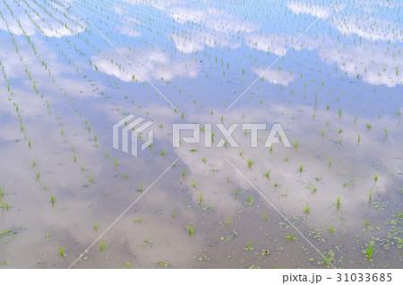 田植えした水田に映る青空と白い雲 31033685