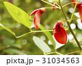 植物 アップ アメリカデイゴの写真 31034563