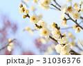 梅の花 31036376