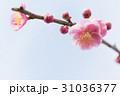 梅の花 31036377