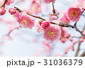 梅の花 31036379