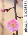 梅の花 31036384