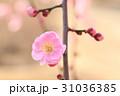 梅の花 31036385