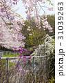 桜遊歩道 31039263