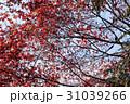 桜ともみじ 31039266