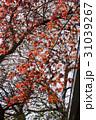 桜ともみじ02 31039267