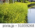 菜の花と用水路 31039268