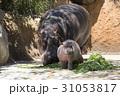 カバ 河馬 食べるの写真 31053817