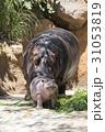 カバ 河馬 食べるの写真 31053819