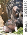 カバ 河馬 食べるの写真 31053820