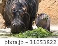 カバ 河馬 食べるの写真 31053822