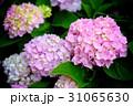 紫陽花 アジサイ あじさいの写真 31065630