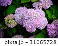 紫陽花 アジサイ あじさいの写真 31065728