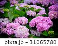 紫陽花 アジサイ あじさいの写真 31065780
