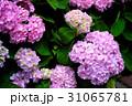 紫陽花 アジサイ あじさいの写真 31065781