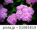 紫陽花 アジサイ あじさいの写真 31065819