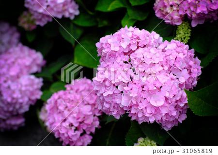 紫陽花 アジサイ あじさい 31065819