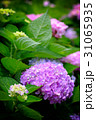 紫陽花 アジサイ あじさいの写真 31065935