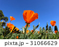 カリフォルニア州 ポピー ポピーの写真 31066629