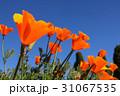 カリフォルニア州 ポピー ポピーの写真 31067535