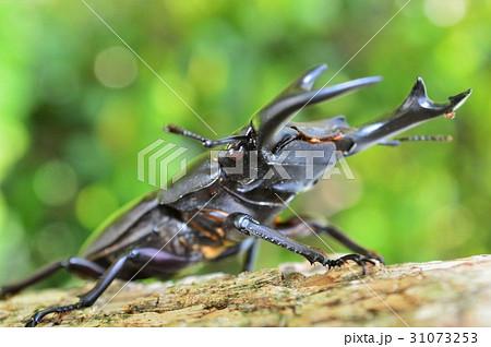 国産オオクワガタの森の樹木の上でと新緑の玉ボケの写真素材 [31073253] - PIXTA