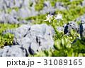 花 植物 百合の写真 31089165