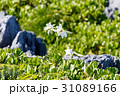 花 植物 百合の写真 31089166
